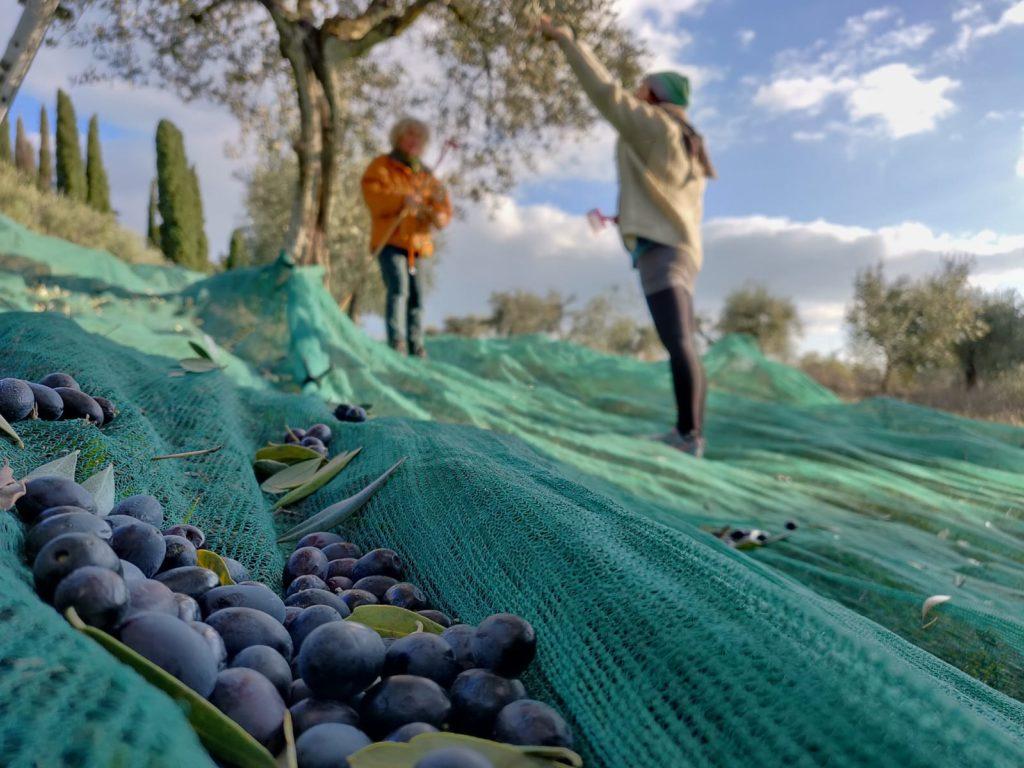 Oliven von Pontepietra